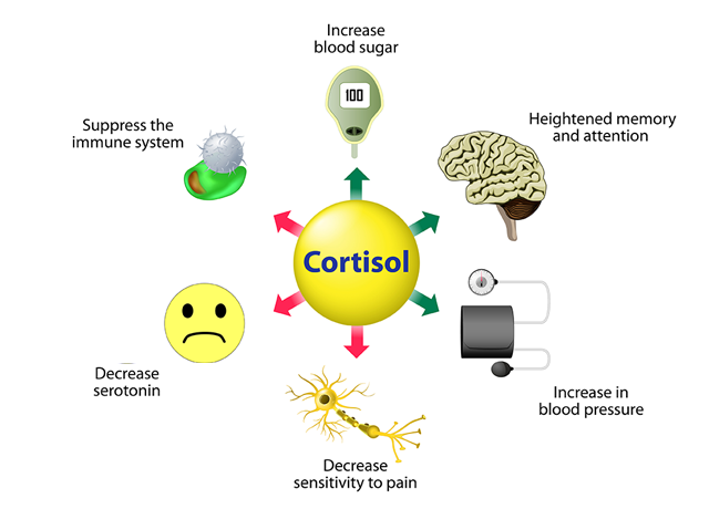 cortisol-functions-640x460.png