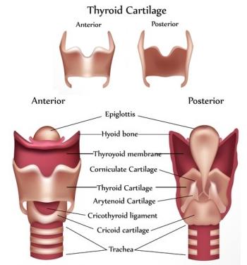 hashimoto-thyroid-cartilate-anatomy-350x375