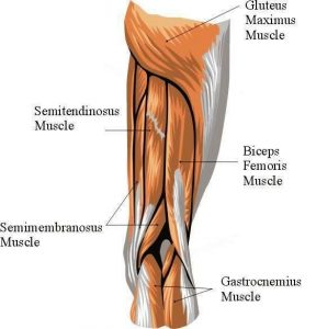 Diagram of hip and posterior thigh musculature