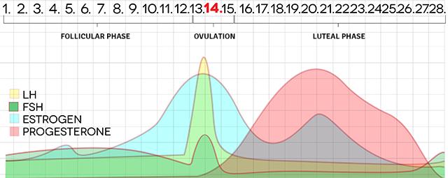 menstrual-cycle-chart-shutterstock_180052262-640x255
