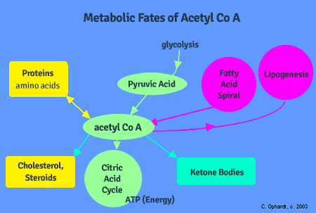 metabolic-fates-of-acetylcoa-450x303