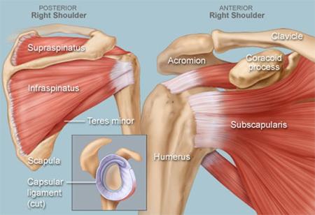 shoulder-anatomy-450x308