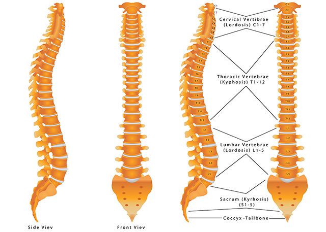 spine-anatomy-shutterstock_216057970-640x457